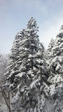 Snow on pine tree Royalty Free Stock Photography