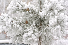 Snow on a pine-tree Stock Photography