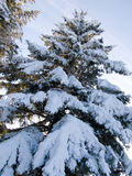 Snow pine-trees. Picture of frozen snow pine-trees and blue sky Royalty Free Stock Images