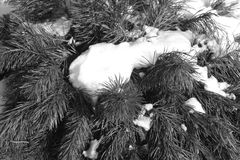 Snow on pine twigs in black and white. Seasonal background Royalty Free Stock Image