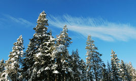 Snow Pines Royalty Free Stock Images