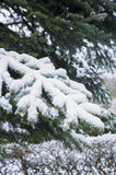 Snow on a pinetree. Snow landscape with pinetree branch Stock Photography