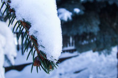 Snow on a pinewood branch. In winter time Stock Photos