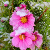 White snow on pink autumn flower Royalty Free Stock Photos