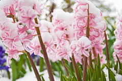 Snow on pink hyacinths Royalty Free Stock Photo