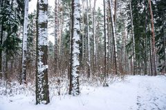Snow in piny and fir forest. Royalty Free Stock Image