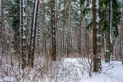 Snow in piny and fir forest. Stock Photo