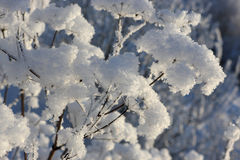 Snow plant Royalty Free Stock Photo