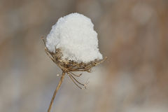 Snow and plant Royalty Free Stock Photo