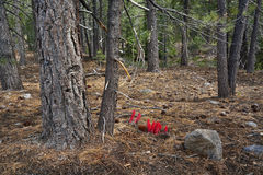 Snow Plant, Lassen Volcanic National Park Stock Image