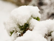 Snow on the plants Stock Photography