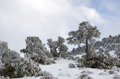 Snow Plastered Trees Royalty Free Stock Photos