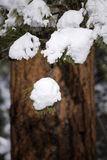 Snow on Ponderosa Pine. Snow weighing down the evergreen limbs of the Ponderosa Pine tree, with the red bark of the trunk out of focus.  Shallow DOF Royalty Free Stock Images