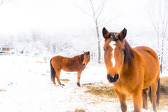 Snow Ponies Stock Photography