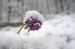 Snow powdered flower Stock Photo