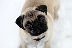 Snow Pug. A cute pug looking into the camera with snow on his face Stock Photography
