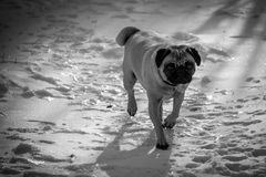 Snow Pug. A pug enjoying a nice winter day Stock Photography