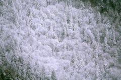 Snow räknade vintergröna trees Arkivfoto