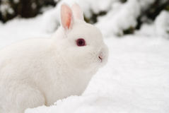 Snow rabbit. A white rabbit in the snow in a garden in England Royalty Free Stock Image