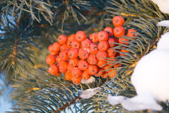 Snow on red berries Royalty Free Stock Images