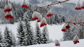 Snow on red berries stock images