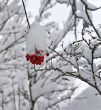 Snow and red berries Royalty Free Stock Image