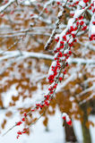 Snow and Red berry Stock Images