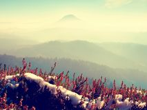 Snow in  red blooming of heather bush on cliff in park. Hilly countryside with long valley full of autumn fog. Royalty Free Stock Images