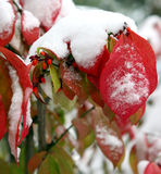 Snow on red leaves Royalty Free Stock Photo