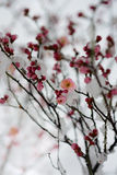Snow reflected the plum flower beautiful shadow  Royalty Free Stock Photos