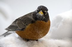 Snow Robin Stock Photo