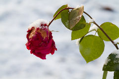 Snow on a rose Royalty Free Stock Image