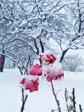 Snow roses Stock Photos