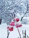 Snow roses stock photos