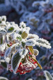 Snow on rowan berries Royalty Free Stock Photos