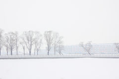 The snow scenery. Poplar forest scenery in winter Royalty Free Stock Images