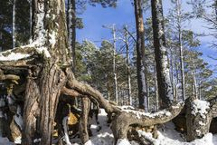 Snow on Scots Pine trees at Loch Mallachie in the Highlands of Scotland. Snow on Scots Pine trees at Loch Mallachie in the Cairngorms National Park of Scotland Stock Images