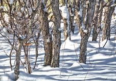 Snow in the Scrub Oaks - Winter Scene - shadows Royalty Free Stock Images