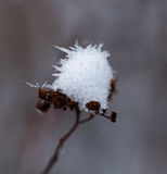Snow on Seedhead. Snow and ice shards on flower seed head Royalty Free Stock Image