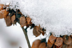 Snow on Seeds in their Pods Stock Photos