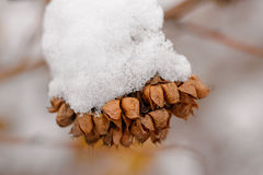 Snow on Seeds in their Pods Royalty Free Stock Photography