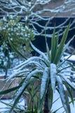 Snow settling on cordyline i the winter garden stock photography