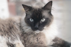 Snow shoes,ragdoll,siamese cat chilling on the street photo with Stock Image