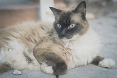 Snow shoes,ragdoll,siamese cat chilling on the street photo with Stock Photo