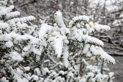 Snow on shrub and tree branches Stock Photography