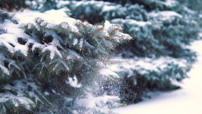 The snow slowly falls from the tree in the winter forest, it`s cold, the girl touches the snow-covered branch with her. Hand stock footage
