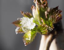 Snow on the small green leaves in spring. close-up Royalty Free Stock Photo
