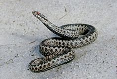 Snow snake. A male adder (Vipera berus) on the early spring snow Stock Photo