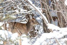 Snow snow snow. Female deer in forest during winter Stock Image