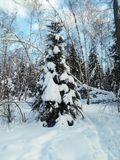 Frosty sunny winter day in the snowy countryside. Young fir tree under abundant snow covering. Royalty Free Stock Photo